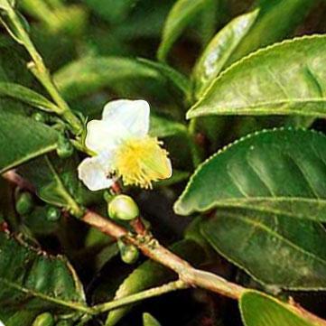 Чайное дерево на котором растут