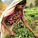 чай будет национальным напитком Индии