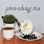 чай Алишань Улун возле цветущего кактуса